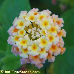 A chakra is described as being similar with symetrical flowers having petals radiating from their middle